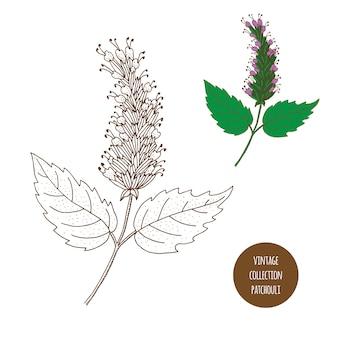 Patchouli. insieme disegnato a mano di vettore delle piante cosmetiche isolato su fondo bianco