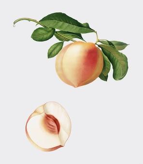 Peach dall'illustrazione di pomona italiana