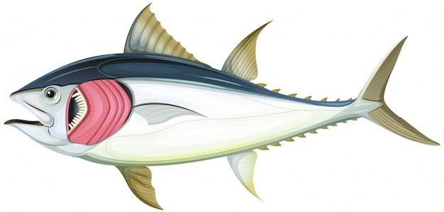 Pesce con le branchie su fondo bianco