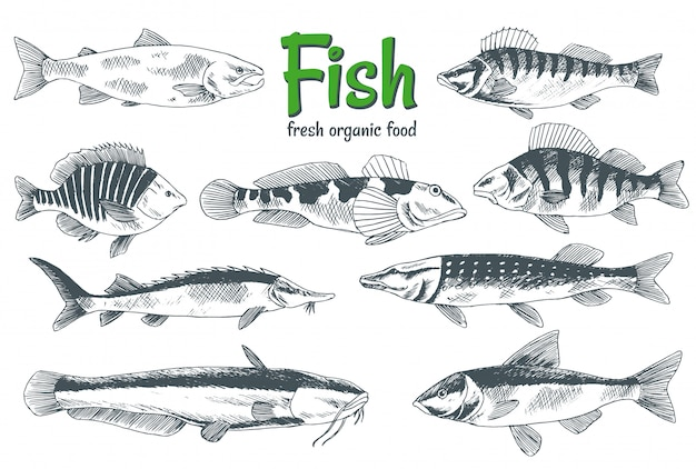 Pesci disegnati a mano manifesto del negozio di prodotti a base di pesce e frutti di mare. può essere utilizzato come menu di pesce del ristorante o banner del club di pesca. trota, carpa, tonno, aringa, passera, acciuga