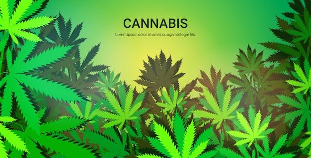 Pianta di marijuana crescente della piantagione, spazio orizzontale della copia di concetto