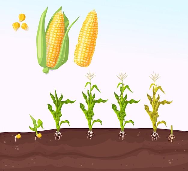 Piantagione di mais. processo di impianto. fasi in crescita. pianta piantina. i semi crescono sul terreno.