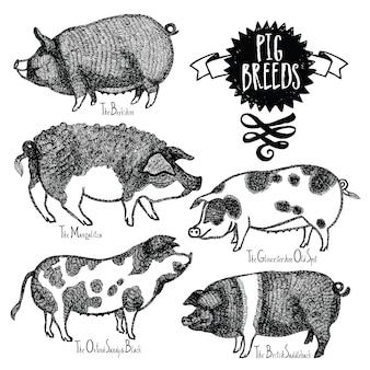 Pig breeds illustrazione vettoriale disegno a mano disegnato a mano