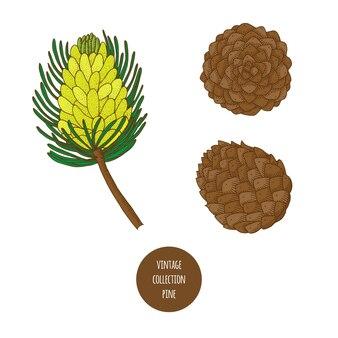 Pino. cono. insieme disegnato a mano di vettore delle piante cosmetiche isolato su fondo bianco