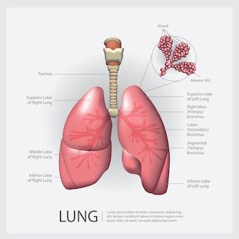 Polmone con illustrazione vettoriale di dettaglio