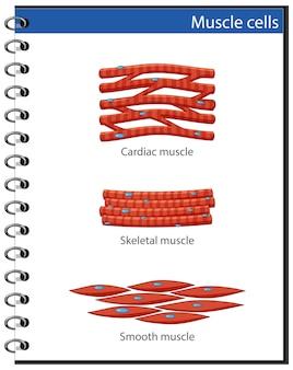 Poster informativo delle cellule muscolari