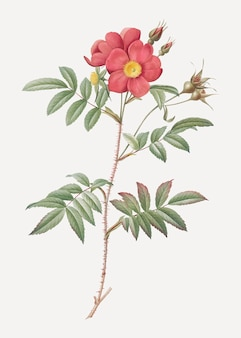 Poster vintage rosa rossa