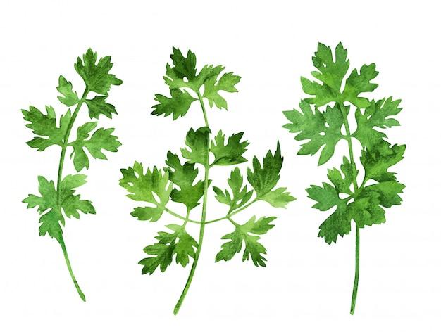 Prezzemolo, tre steli con foglie, disegnati a mano