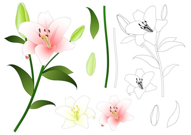 Profilo di giglio rosa e bianco