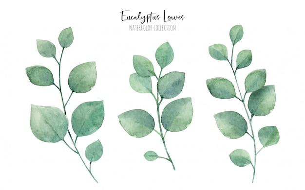Raccolta di foglie di eucalito dell'acquerello, elementi floreali verde