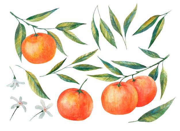 Rami di mandarino, agrumi, illustrazione di foglie e fiori di mandarino su uno sfondo bianco acquerello