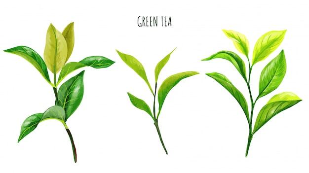 Rami e foglie del tè verde, acquerello disegnato a mano