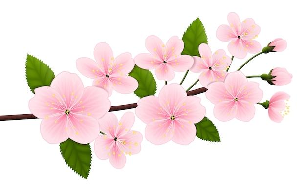 Ramo di ciliegio in fiore.