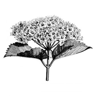 Ramo di fioritura dell'incisione delle illustrazioni dell'annata di viburnum