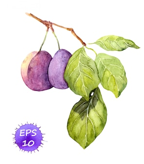 Ramo di frutta prugna con foglie. illustrazione botanica