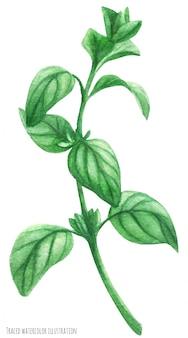 Ramo di gambo verde maggiorana. illustrazione tracciata acquerello botanico