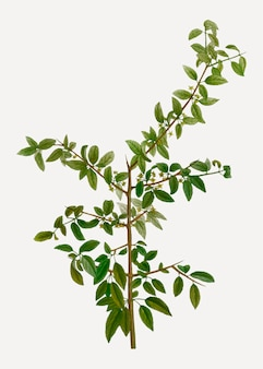 Ramo di olivello spinoso