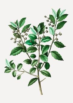 Ramo di quercia sempreverde