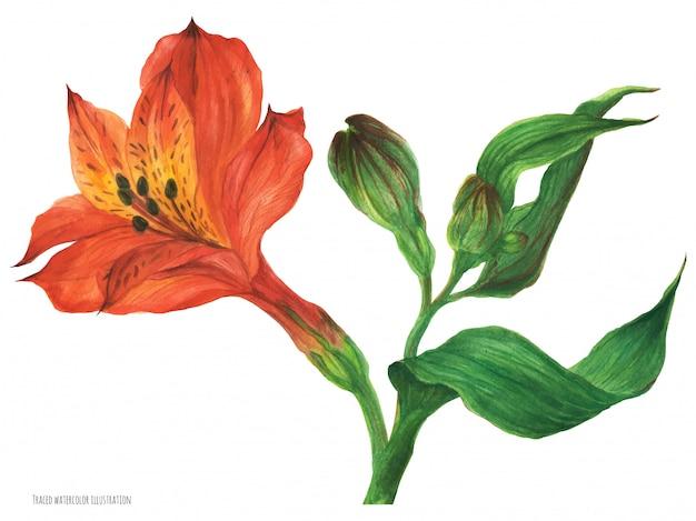 Ramo rosso di alstroemeria con il fiore ed i germogli del fiore