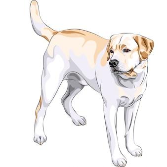 Razza labrador retriever del cane da caccia giallo di schizzo