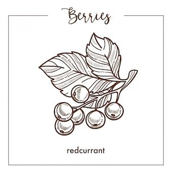 Ribes rosso su piccolo ramo con schizzo di foglie monocromatiche a bacca
