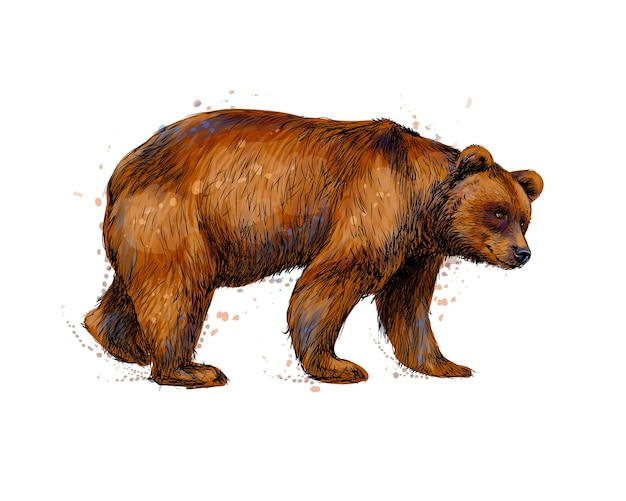 Ritratto di un orso bruno da una spruzzata di acquerello, schizzo disegnato a mano. illustrazione di vernici