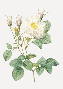 Rosa bianca di york