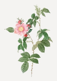 Rosa canina in fiore