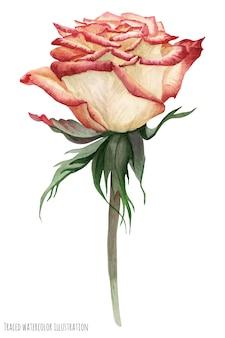 Rosa del giardino pallido