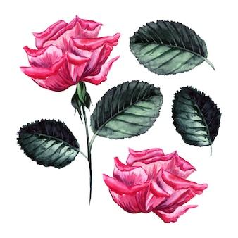Rosa di vettore dell'acquerello, illustrazione dettagliata, bocciolo di fiore isolato, elementi di foglie.
