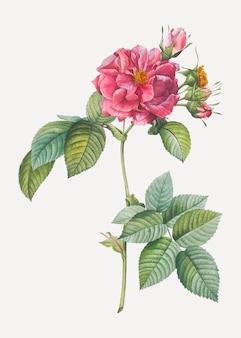 Rosa francofona rosa