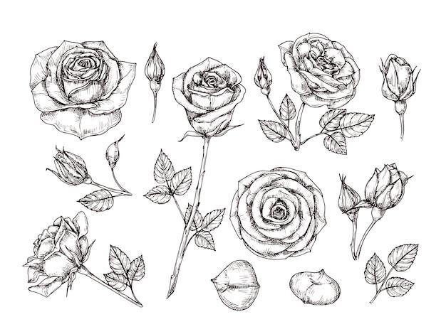 Rose disegnate a mano disegna fiori rosa con spine e foglie. insieme isolato botanico incisione d'epoca in bianco e nero