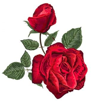 Rose rosse su sfondo bianco