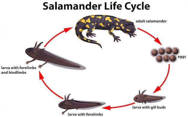 Salamandra concetto di ciclo di vita