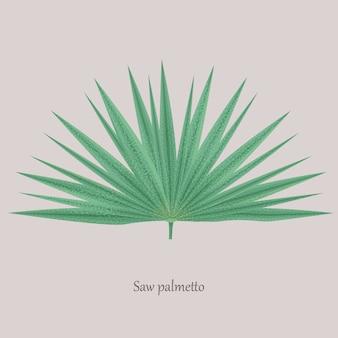 Saw palmetto, serenoa repens albero medicinale.