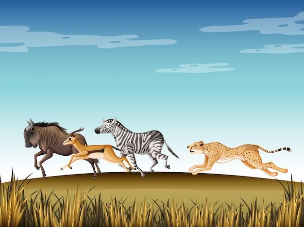 Scena con ghepardo a caccia di molti animali sul campo