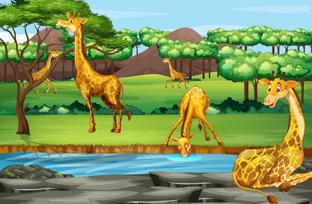 Scena con giraffe allo zoo aperto
