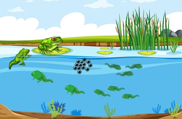 Scena del ciclo di vita delle rane verdi