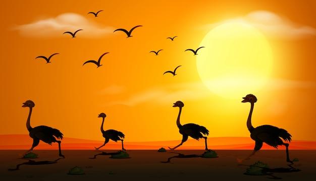 Scena della siluetta con lo struzzo che funziona al tramonto