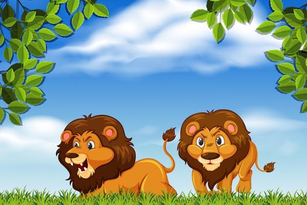 Scena lions in woods