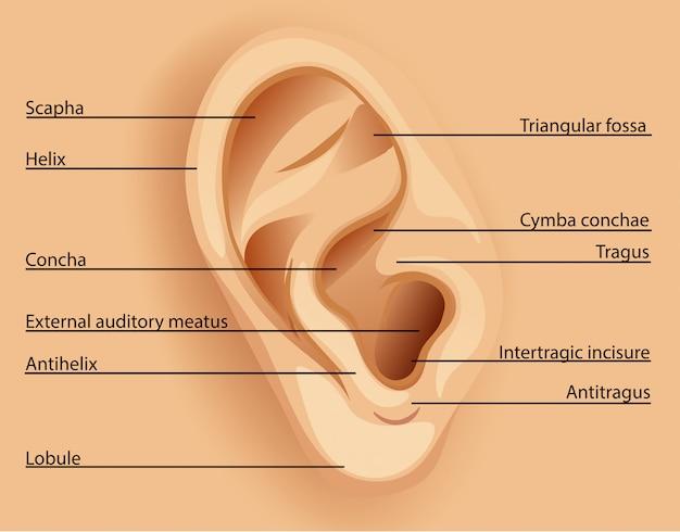 Schema dell'orecchio