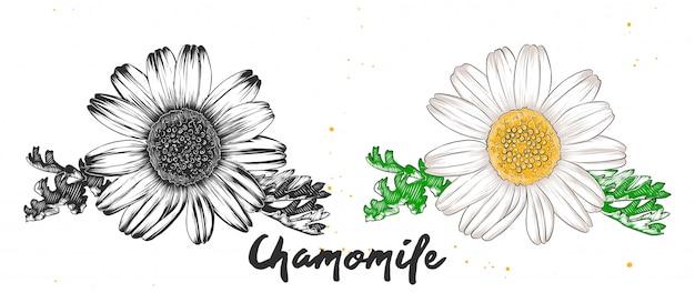 Schizzo disegnato a mano di fiori di camomilla