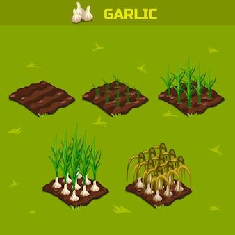 Set 7. fase isometrica della crescita aglio