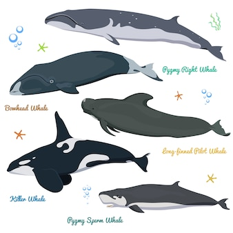 Set di balene dal mondo killer whale pygmy sperm, bowhead, right, pilot con pinne lunghe