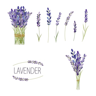 Set di elementi di fiori di lavanda. raccolta di fiori di lavanda su uno sfondo bianco.