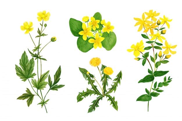 Set di fiori di campo selvatici ed erbe, acquerello