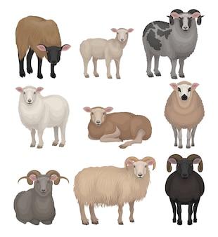 Set di simpatiche pecore e arieti. animali da fattoria con mantello lanoso e corna ricurve. creatura domestica. allevamento di bestiame