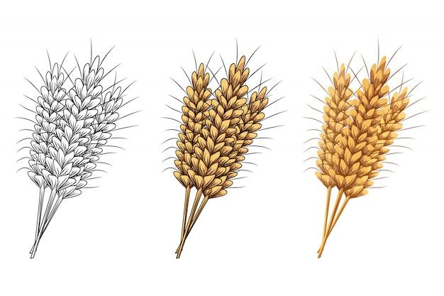 Set di spighe di grano o segale isolato su sfondo bianco.