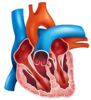 Sezione trasversale del cuore