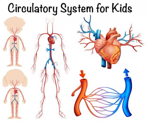 Sistema circolatorio per bambini